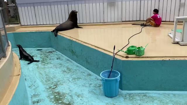 想要幫忙清潔,結果卻起了反效果的海獅w Image