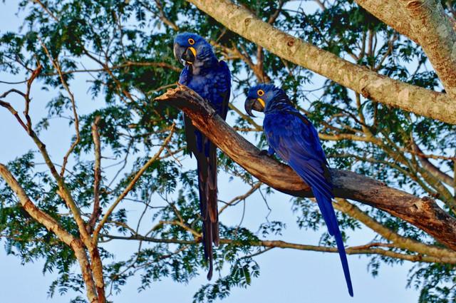 Carlos-Durigan-Hyacinth-Macaw-2-03-15-2014-978x650