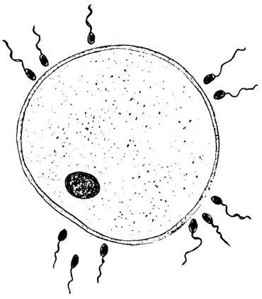spermatozoide-tchetcheno