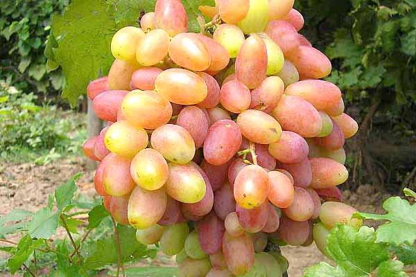 sort-vinograda-jubilej-novocherkasska