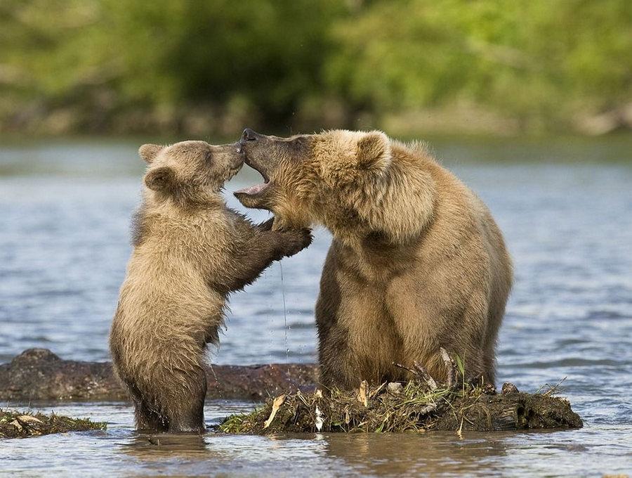 Невероятные фотографии медведей 15