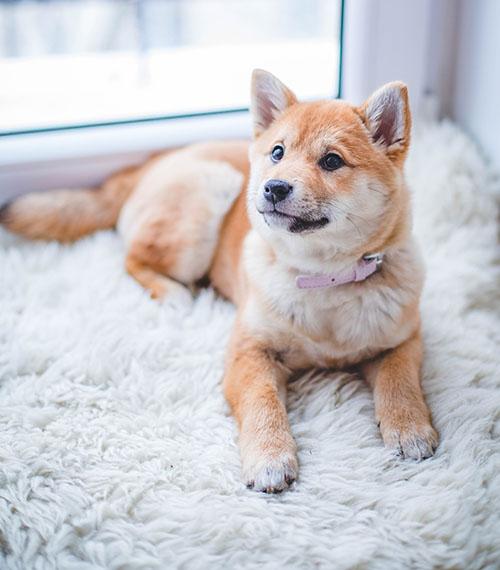 cachorro-casa-filhote-pet