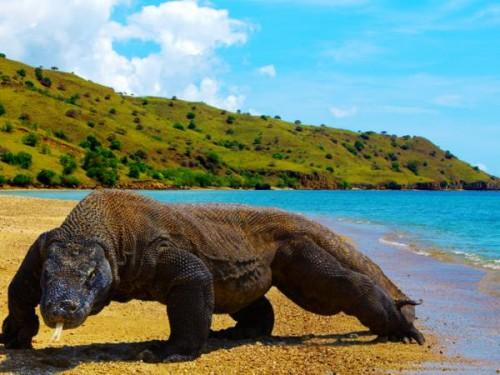 Pulau Komodo, Si Raja Kadal yang Menjelma Jadi Wisata Mahal