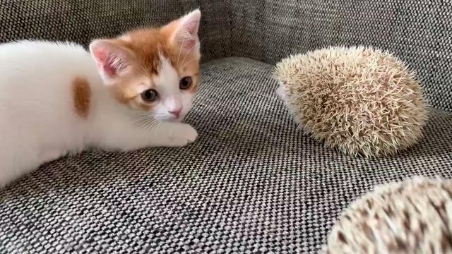 貓咪Vs刺猬 Image