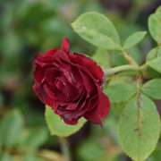 roze18