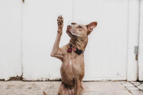 A dog raising her hand.