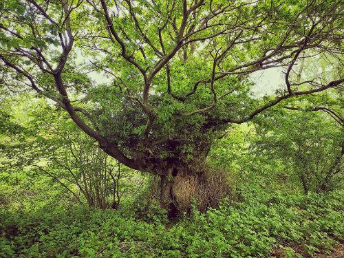 An image of a beautiful oak tree taken by Icy Sedgwick.