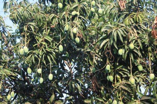 [Image: mango-grove-4.jpg]