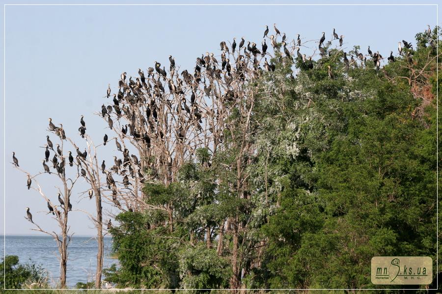 Ночівельне скупчення баклана великого (Phalacrocorax carbo)