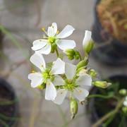 Drosera-binata-flower