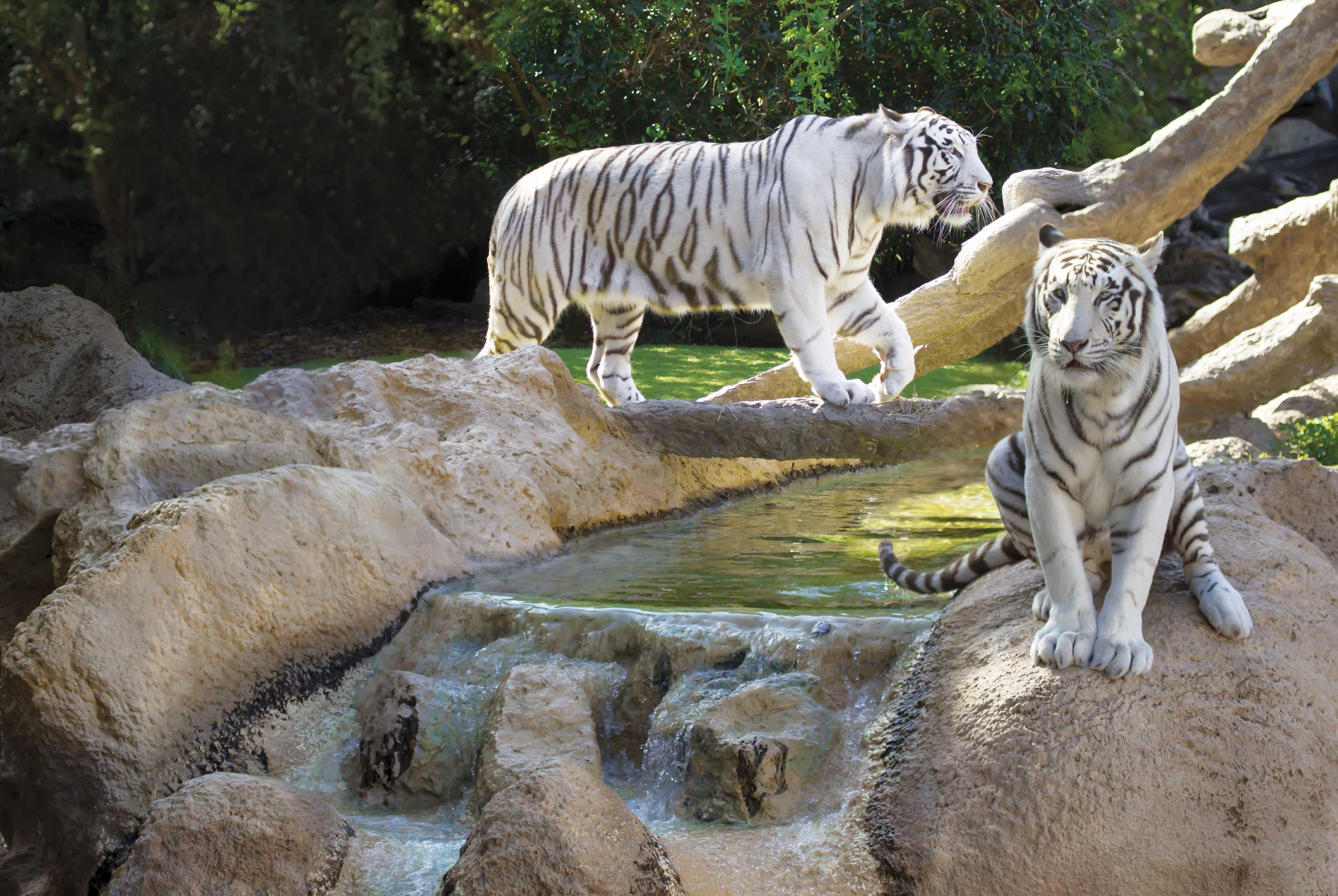 White Tigers at Loro Parque