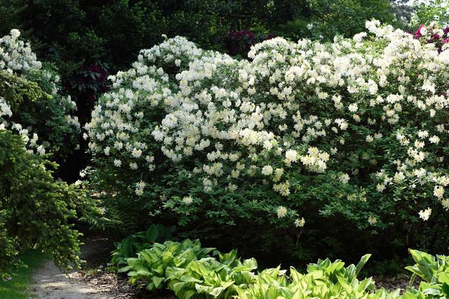 08-Rhododendron-Ghent-Gruppen-Daviesii-PNTR-20180514-2018