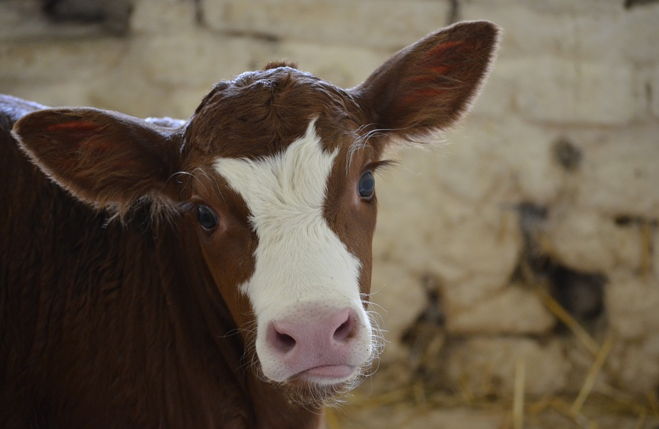 Cosmo, primo vitello modificato geneticamente: con che scopo?