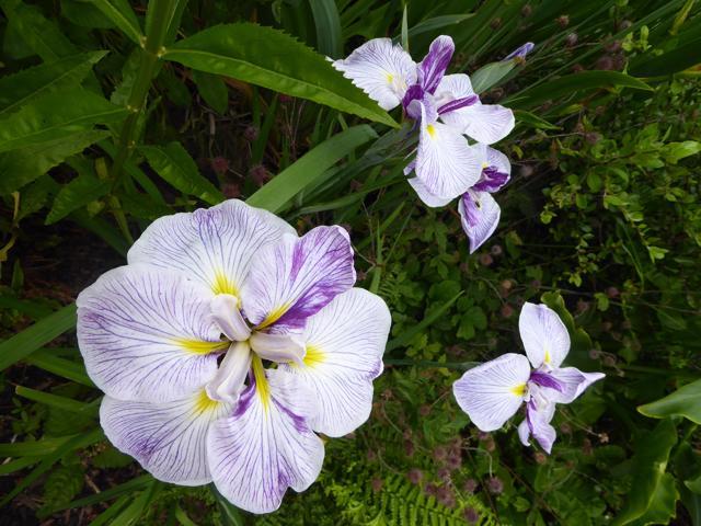 Back-of-pond-irises-01-07-19