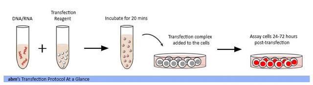 transfection-workflow.jpg