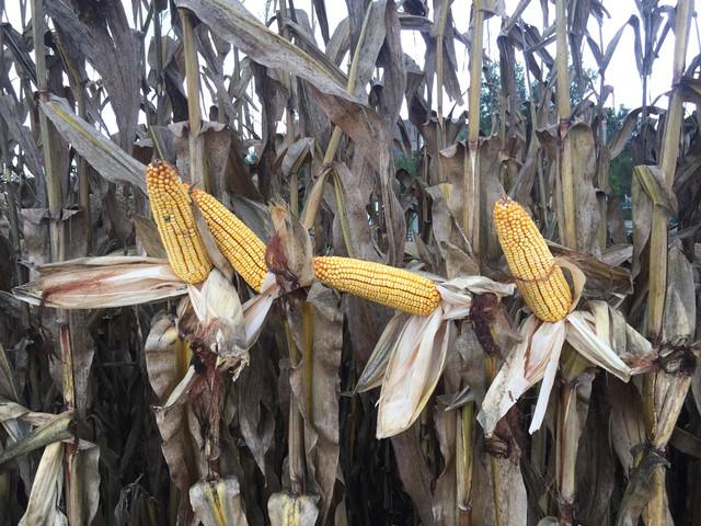 maïs 2020 - Page 15 E101297-D-6-F0-B-488-E-AF0-F-316-C97-F81979