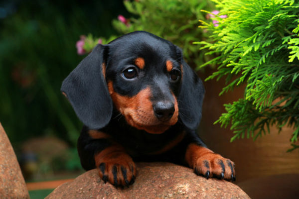 dachshund-cuite-puppies