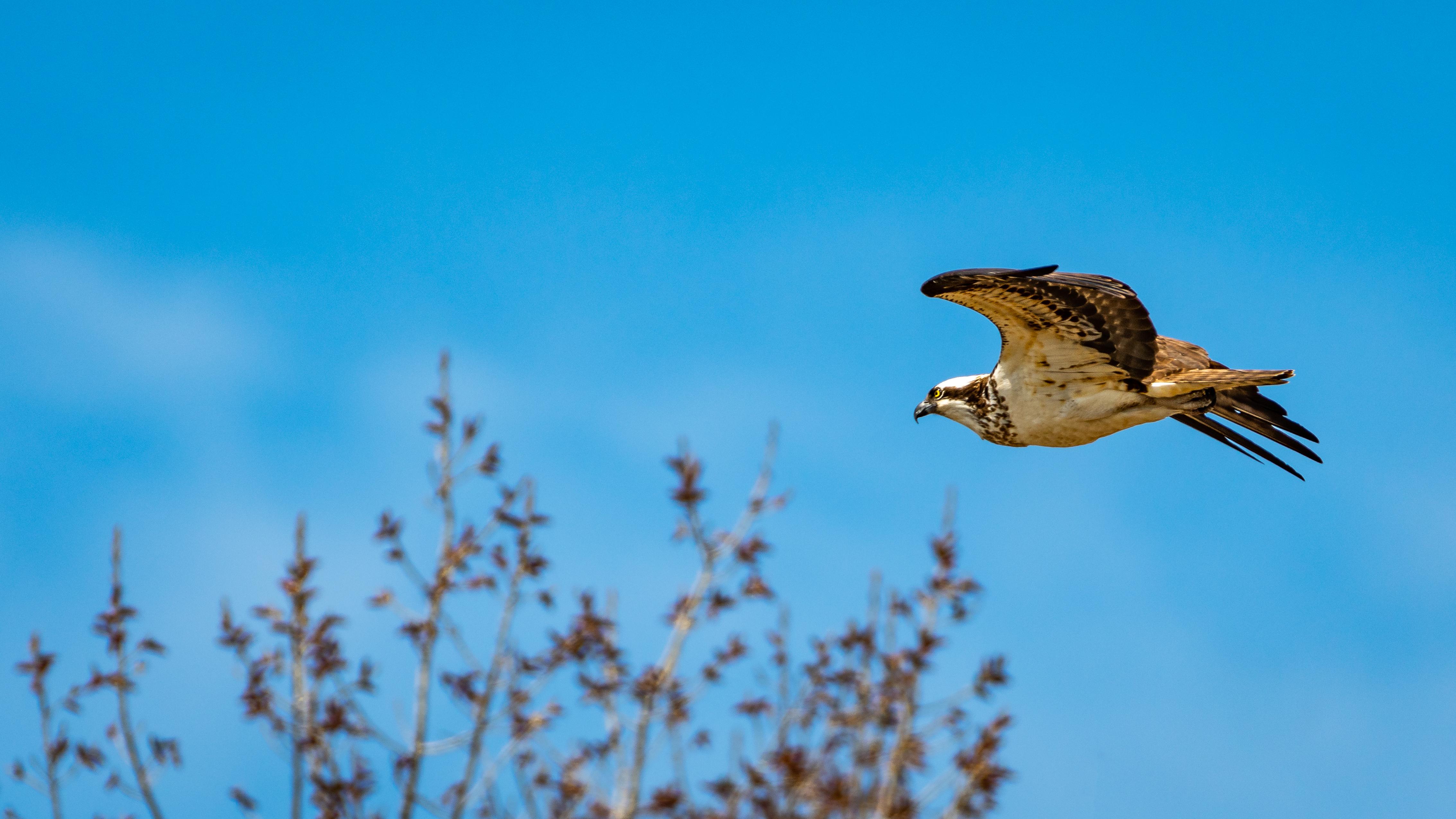 IMAGE(https://i.ibb.co/NnzS6hg/osprey.jpg)