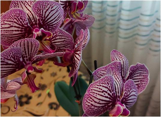 orhideja-moja