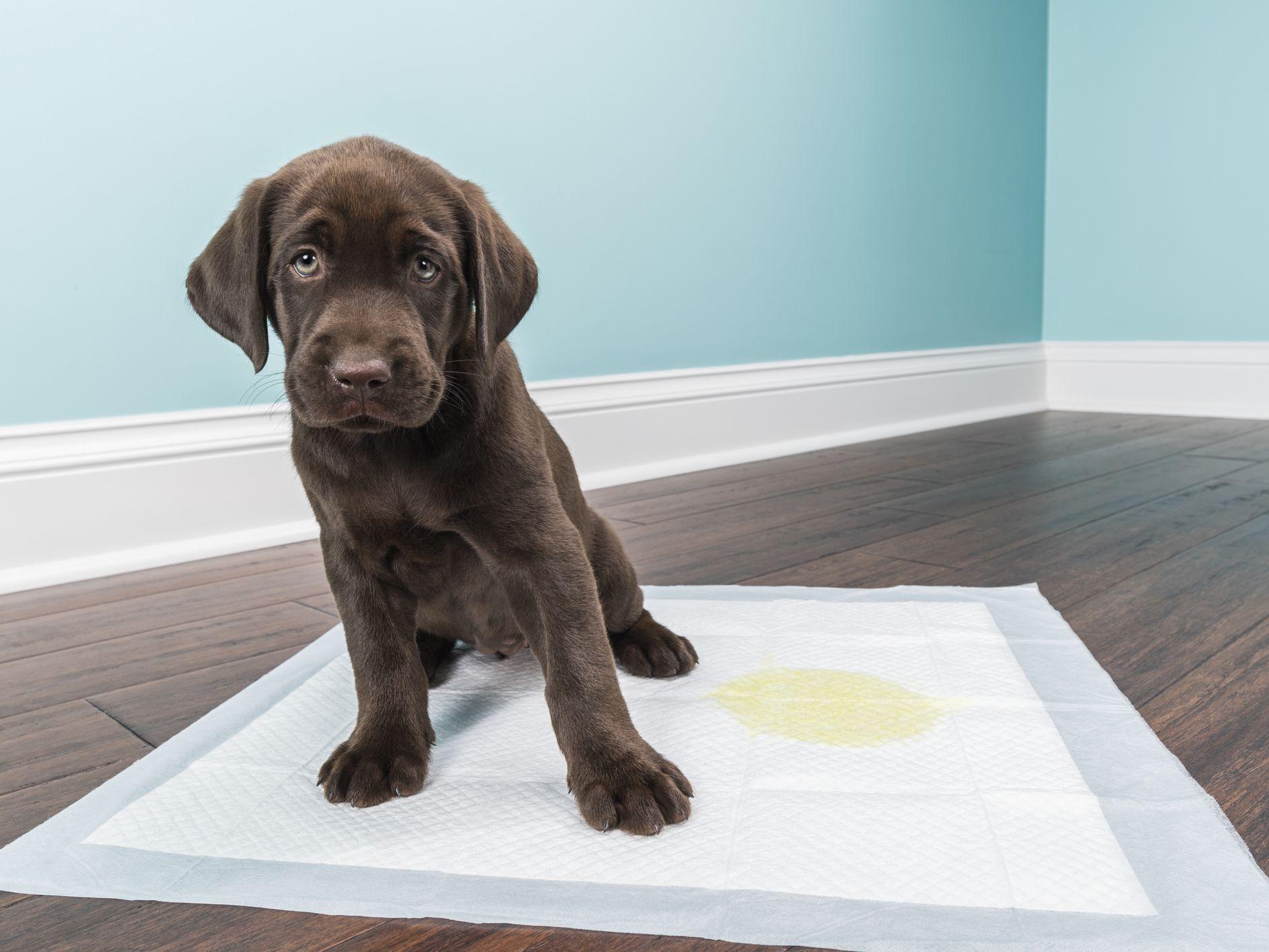 Comparación de Las 10 Mejores Almohadillas Para Orinar De Perro Y