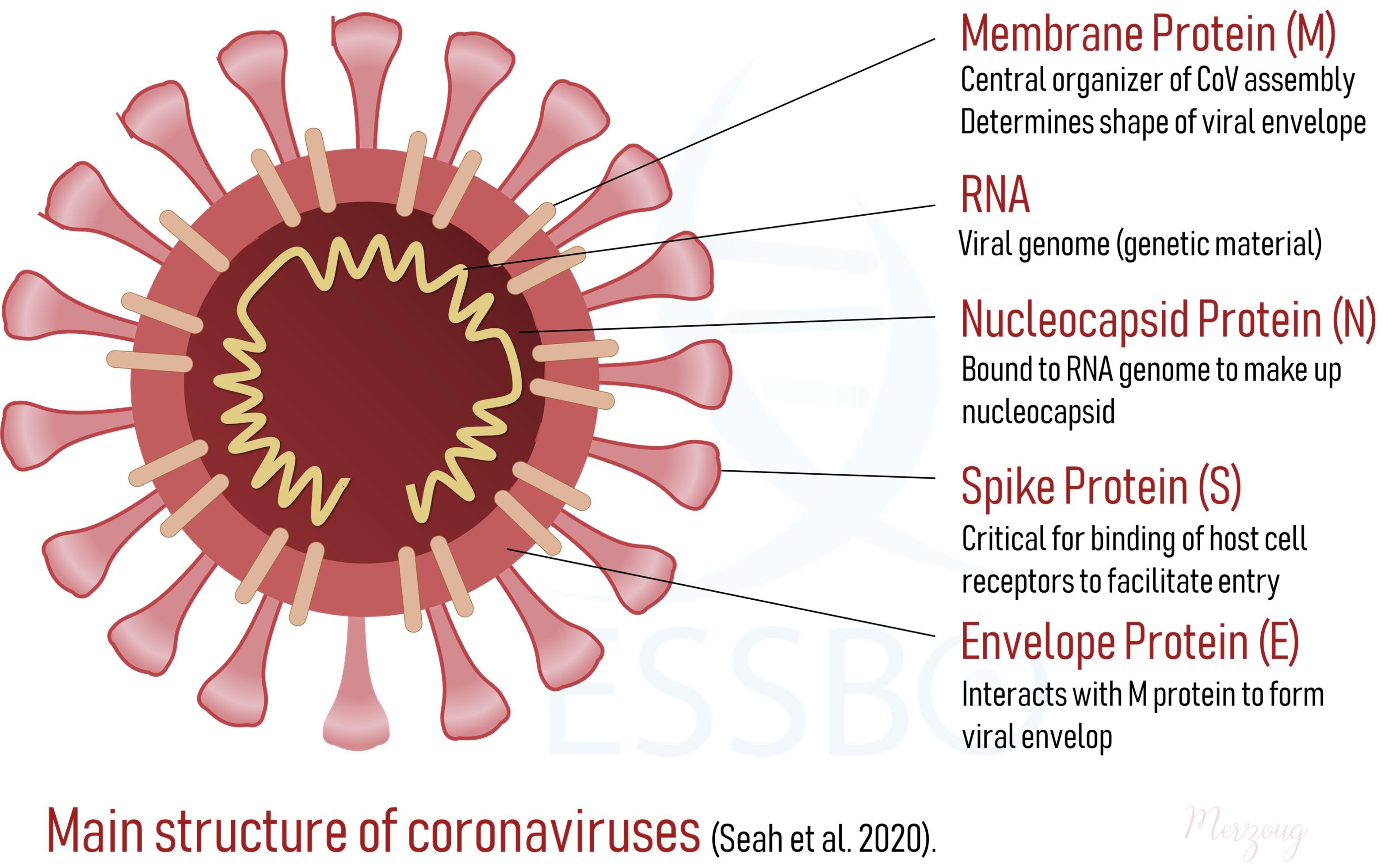 Main-structure-of-coronaviruses
