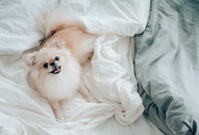 https://i.ibb.co/PCKqG2x/lovely-Pomeranian-puppies.jpg