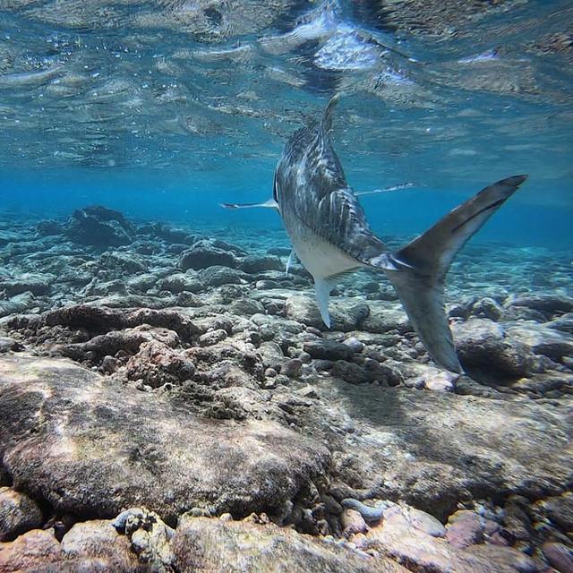 kanton-atoll-gt-giant-trevally-fly-fishing-kiribati-48