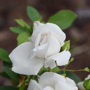 roze15