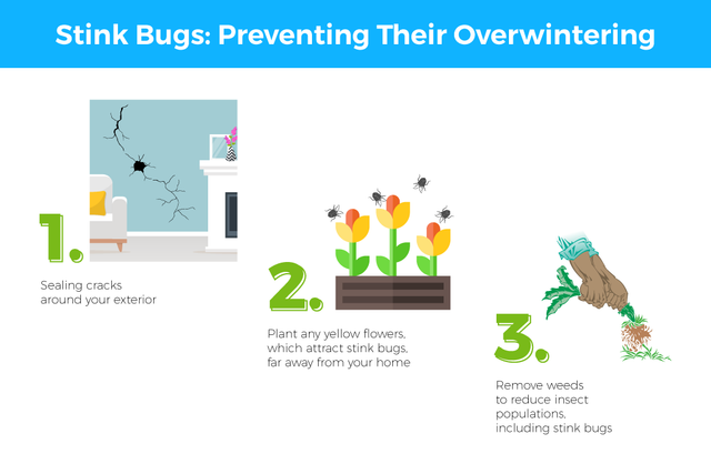 Stink Bugs: Preventing Their Overwintering: 1) Sealing cracks around your exterior 2) Plant any yellow flowers, which attract stink bugs, far away from your home 3) Remove weeds to reduce insect populations, including stink bugs.