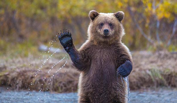 Медведи, такие медведи-1