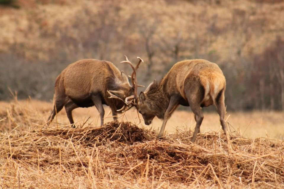 Rutting Stags, Scottish Wildlife to spot on your vacation in Scotland