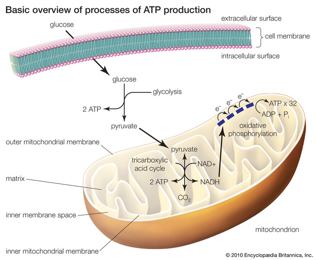 processes-production-ATP-glycolysis-tric