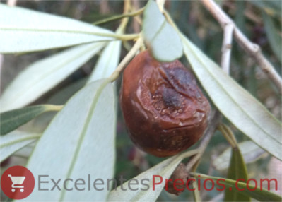 Anthracnose in olives, damage caused by the anthracnosis, colletotrichum sp