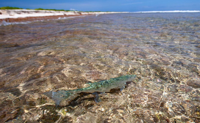 kanton-atoll-gt-giant-trevally-fly-fishing-kiribati-11
