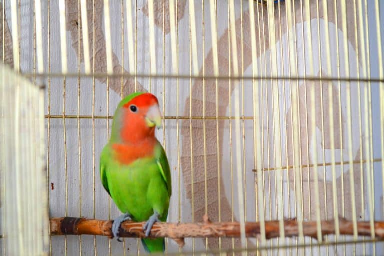 Cage for lovebirds