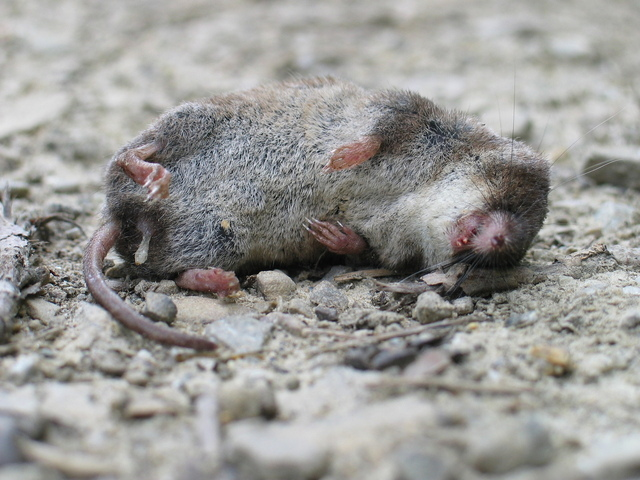a dead rodent