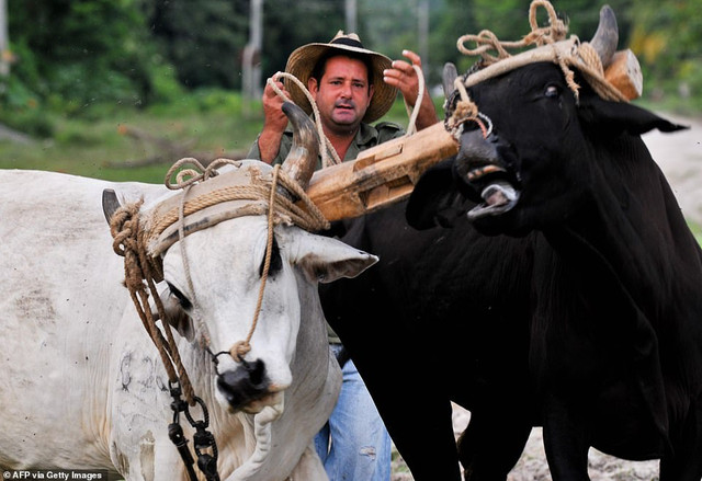 22160942-7785767-There-are-not-enough-working-animals-to-go-around-as-Cubans-move-a-39-1576170216504.jpg