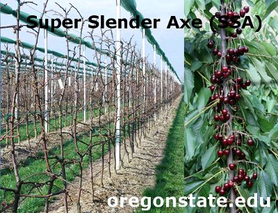 Super Slender Axe (SSA), poda de formación para la obtención de cerezas de gran tamaño