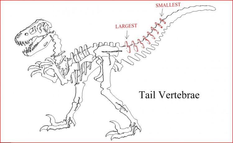 Tail vertebrae 3D DINOSAUR PUZZLE