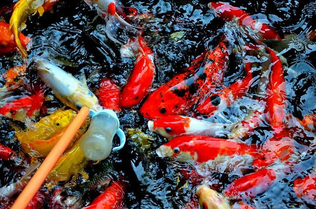 5 Fakta Manfaat Ikan Koi, Bisa Bawa Keberuntungan!