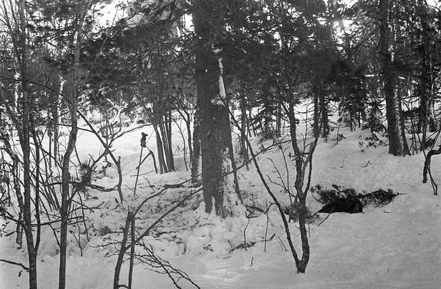 Dyatlov-pass-cedar-tree-01