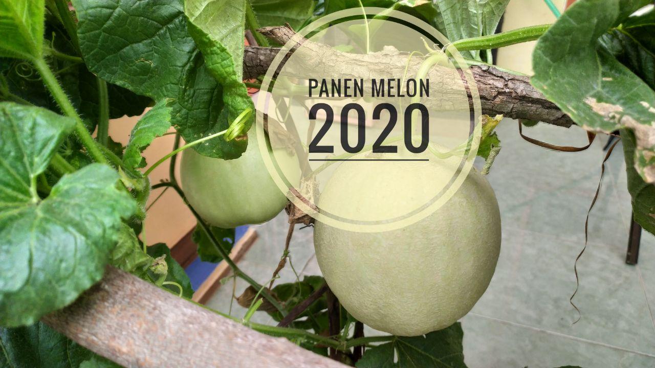 Panen Melon 2020
