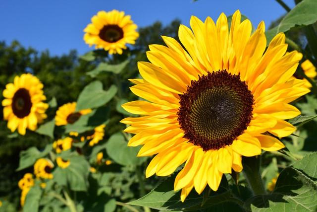 sunflower-1627193-1920.jpg