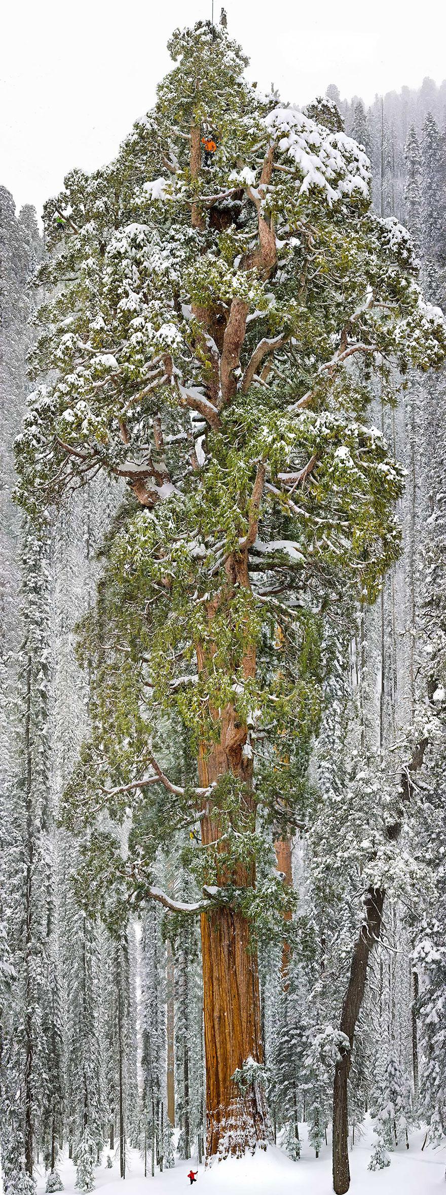 Президент - третья по величине гигантская секвойя в мире, штат Калифорния-20