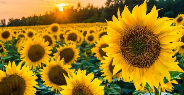 5 Easy Ways to Grow Sunflowers