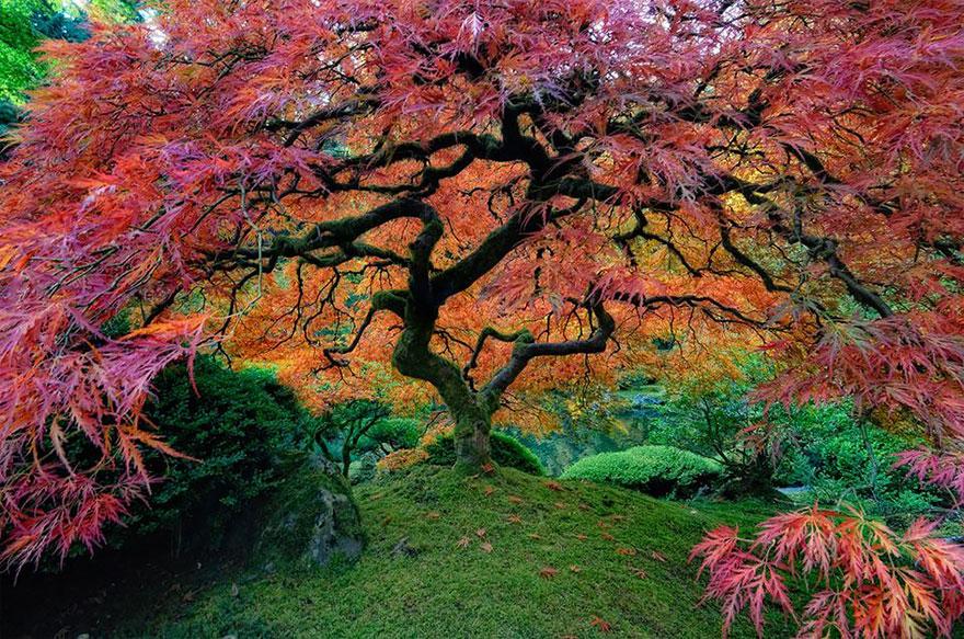 Красивый японский клён в Портленде, штат Орегон-21