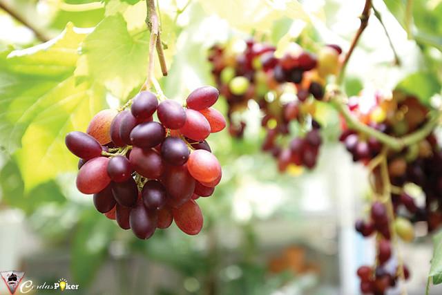 Berkebun Anggur ala Kebun Rooftop