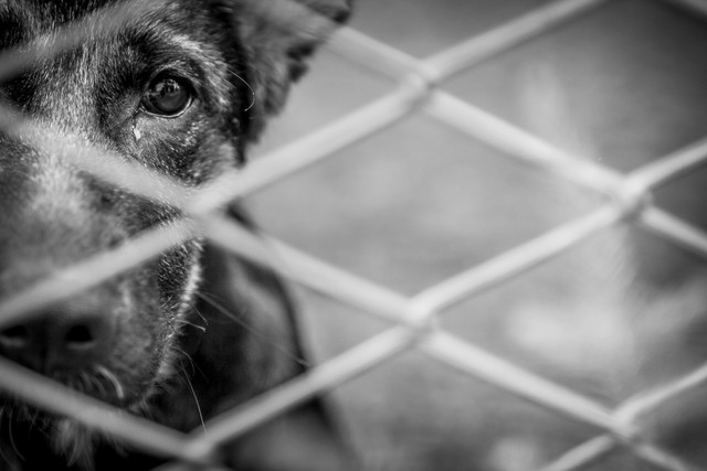 Stray-abandoned-puppy-in-shelter-sad-puppy-eyes
