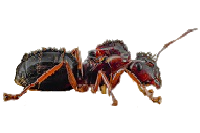 Camponotus-aethiops-removebg-preview.png