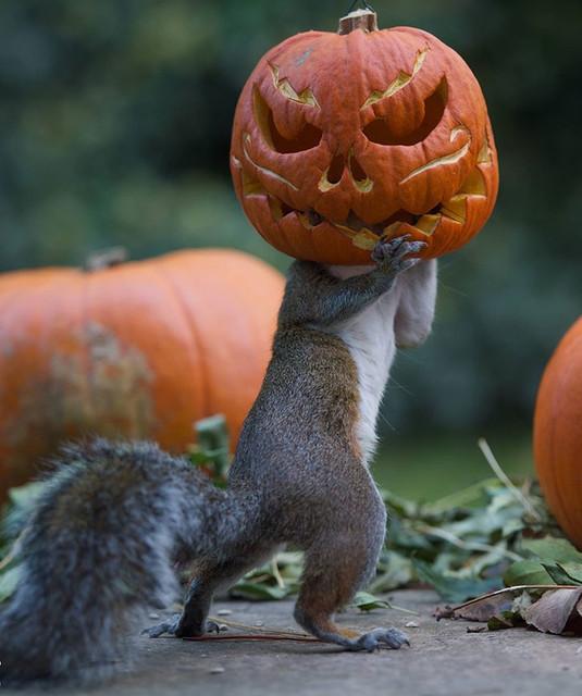 squirrel-steals-carved-pumpkin-max-ellis-6-e1415107823166
